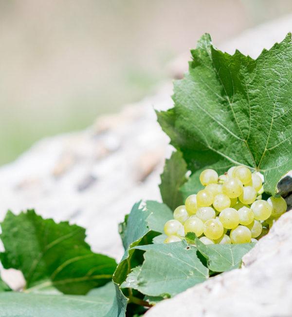 uva bianca vigneti cenci