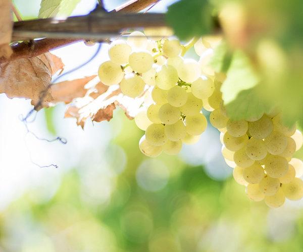 vigneti cenci uva bianca