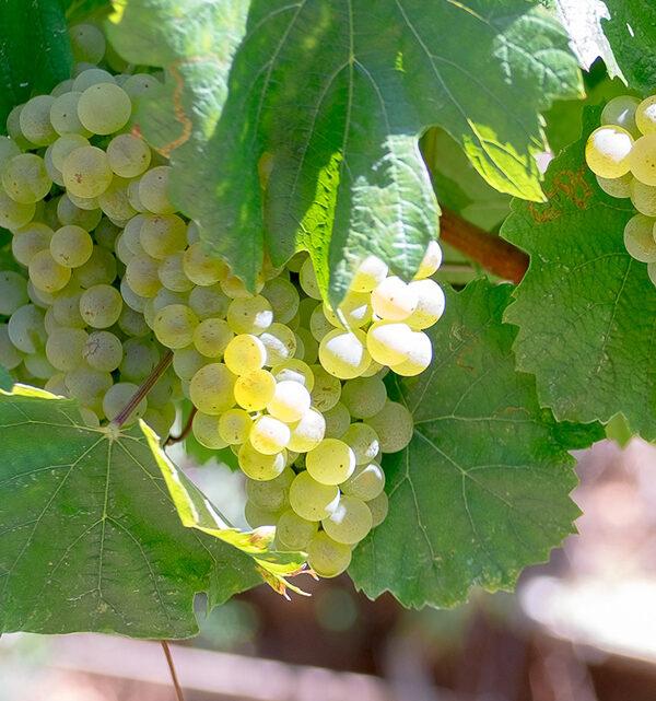franciacorta sessanta millesimato brut uva bianca
